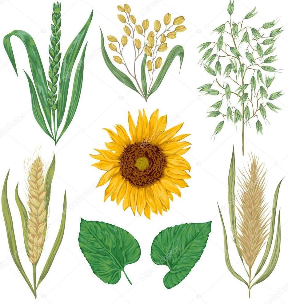 Календарь огородника 2020 лунный и благоприятные дни посева, посадки Подсолнечник,Пшеница,Рожь, Овес, Ячмень