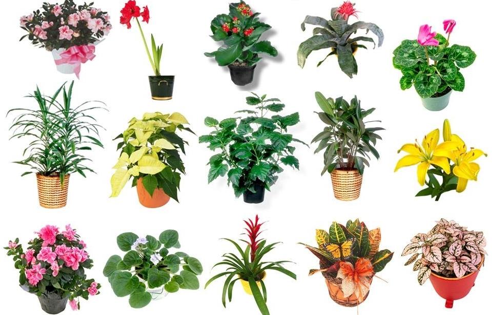 Азбука комнатных цветов с картинками