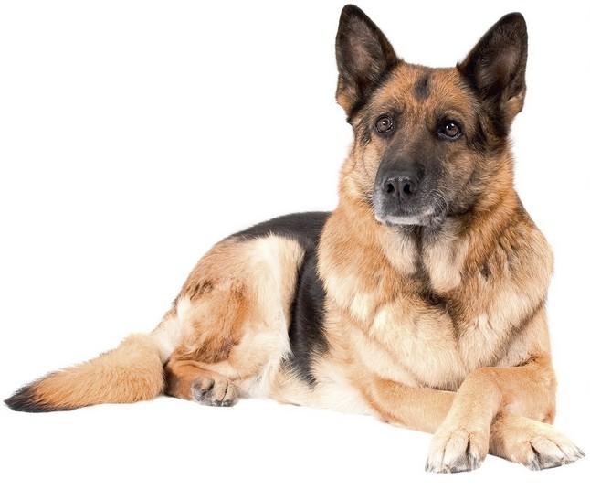 Картинка собака овчарка на белом фоне