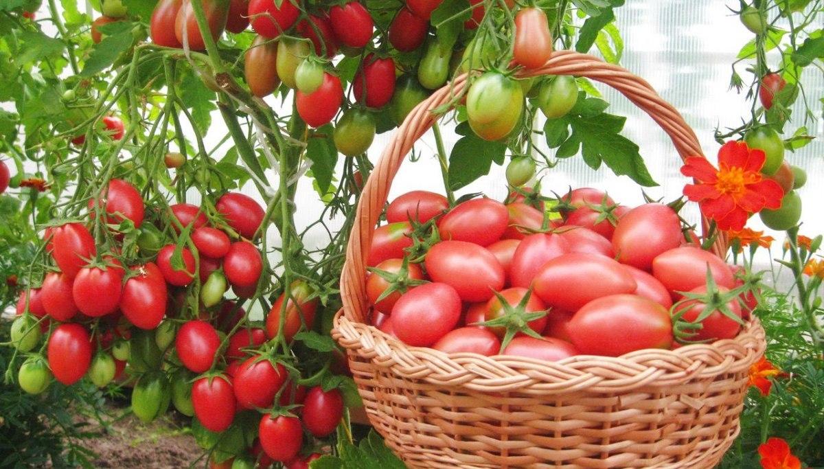 когда сажать помидоры в теплицу семенами
