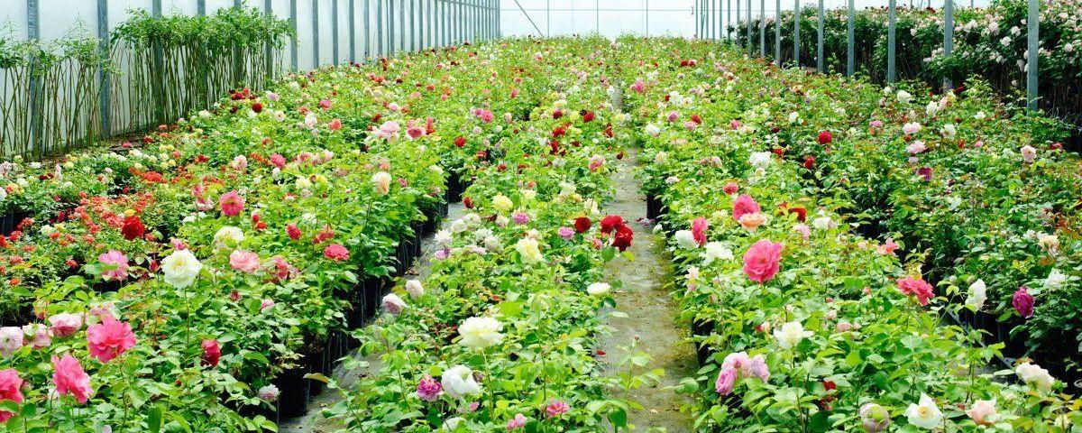 теплицы роз в сарапуле