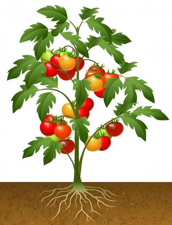картинка корень помидора новое время